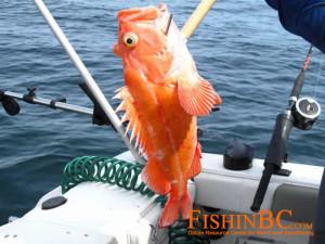 Rockfish ID 1