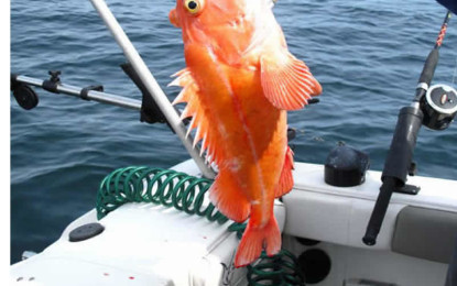 Rockfish ID
