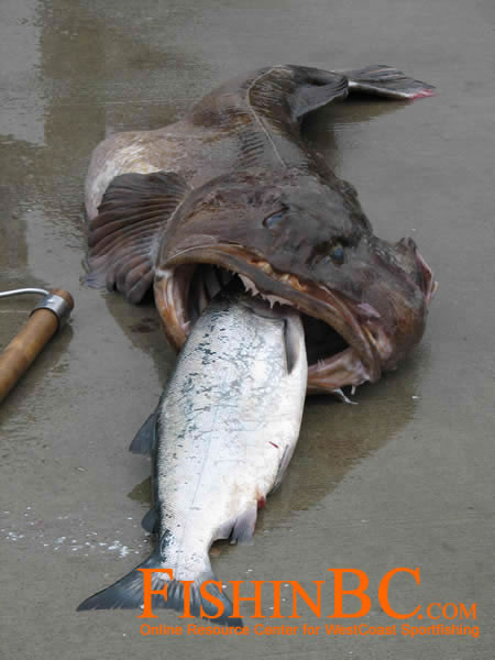 Lingcod bait gallery for Cod fishing rigs